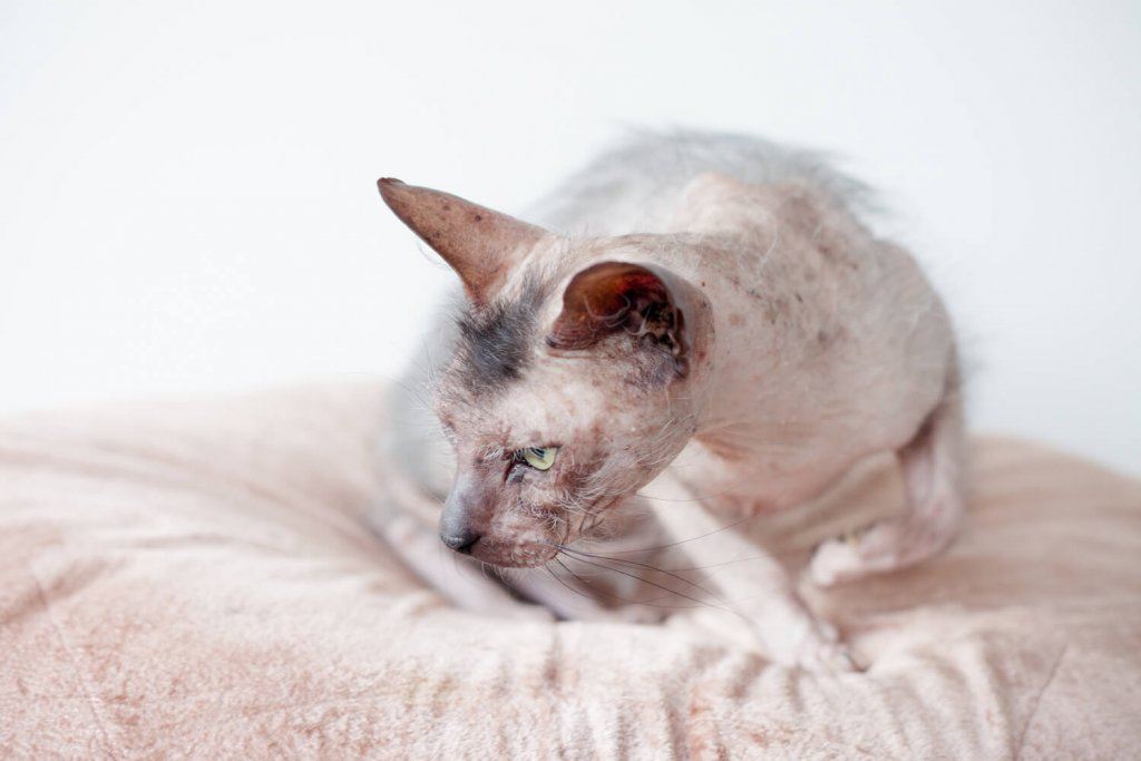 Bristol Wales Cat Rescue Ratty, hairless cat by Studio Cotton